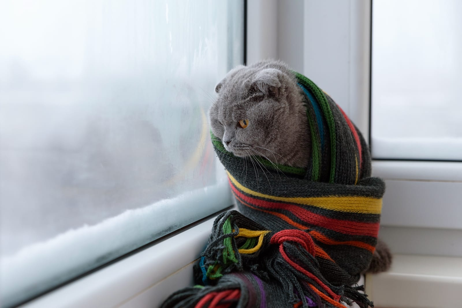 cat of Scottish British breed wrapped in a warm scarf looking out the window at the snow